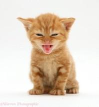 British shorthair red tabby kitten miaowing