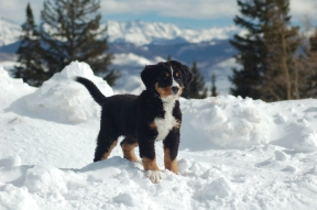bernese-mountain-dog-puppies-in-snow-wallpaper-1