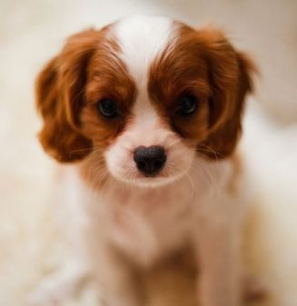 cocker-spaniel-puppy-in-tan-and-white