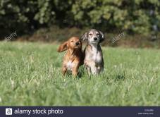 dog-saluki-persian-greyhound-two-puppies-running-in-a-meadow-d1njrm