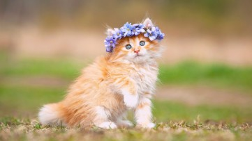 fluffy-kitten-wallpaper-mobile